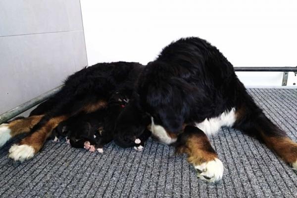 Bernese mountaindog puppies
