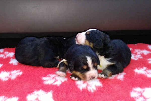 Bernese mountaindog puppies